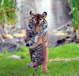 Tiger Takes Her Cub To The Safe Area