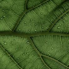 Ficus Lyrata Leaf In The Sunlight