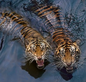 Tiger Swimming Couple